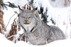 canadian lynx yukon territory winter portrait writing