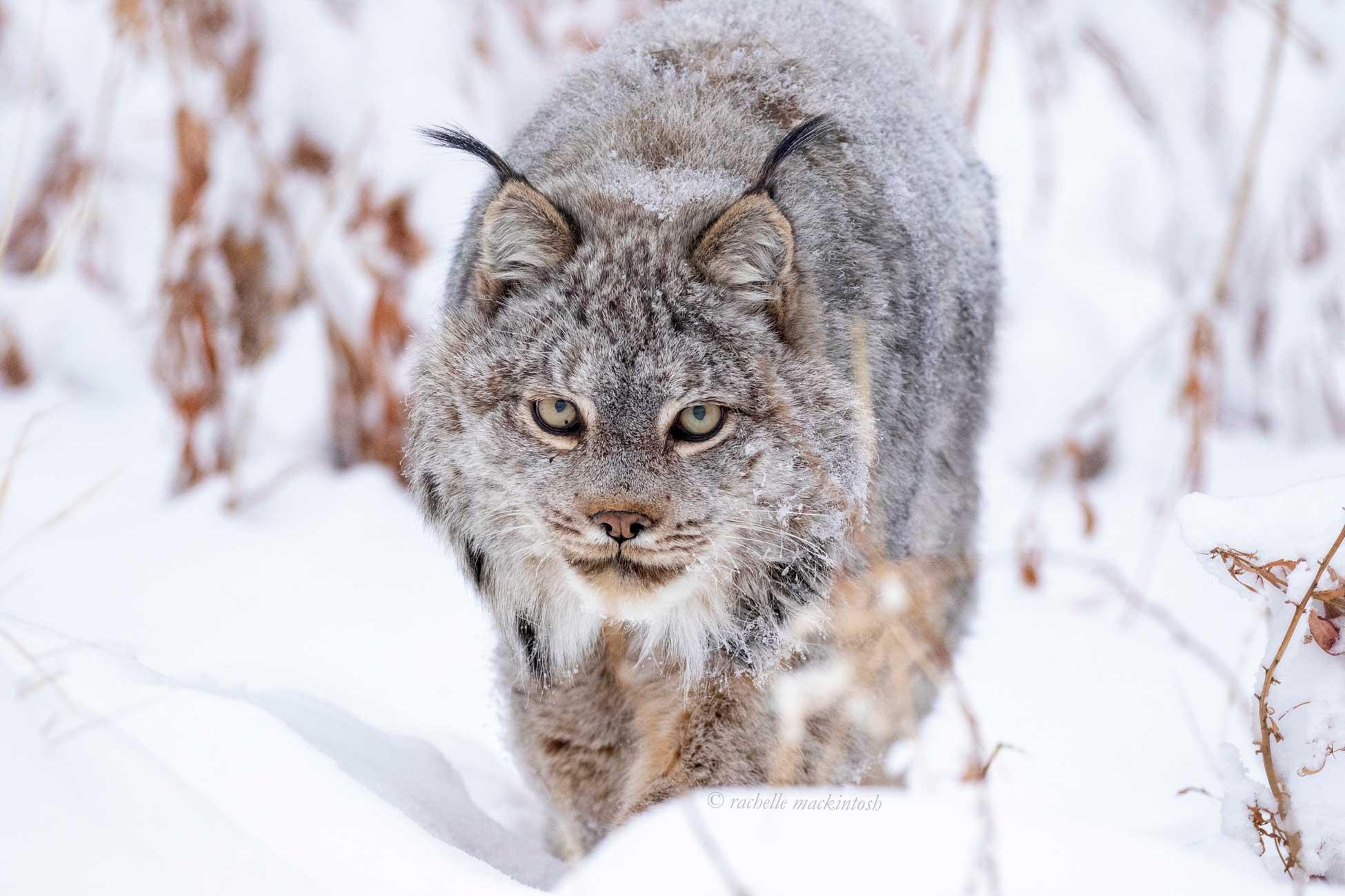canadian lynx yukon whitehorse winter