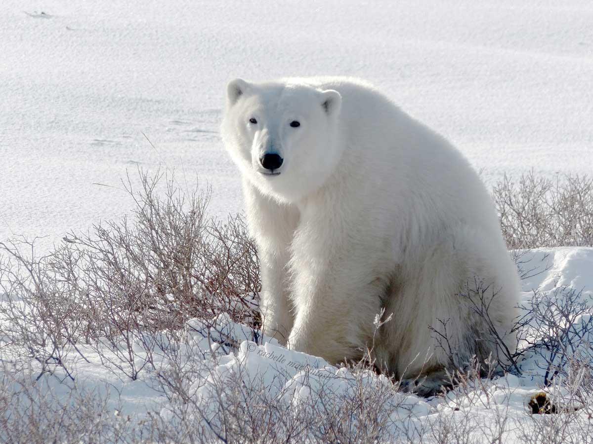 churchill polar bear hudson bay arctic canada
