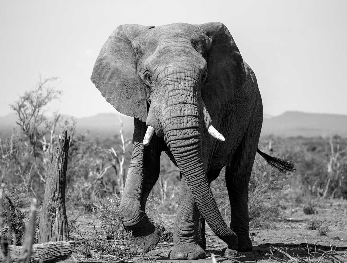 elephant bull madikwe south africa