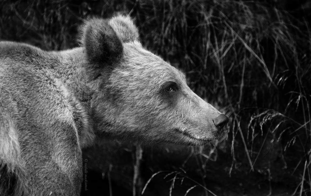 grizzly bear klemtu canada british columbia black and white
