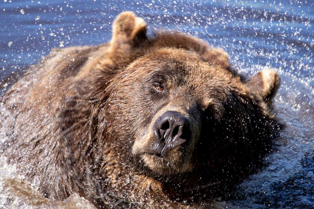 grizzly bear vancouver canada writing