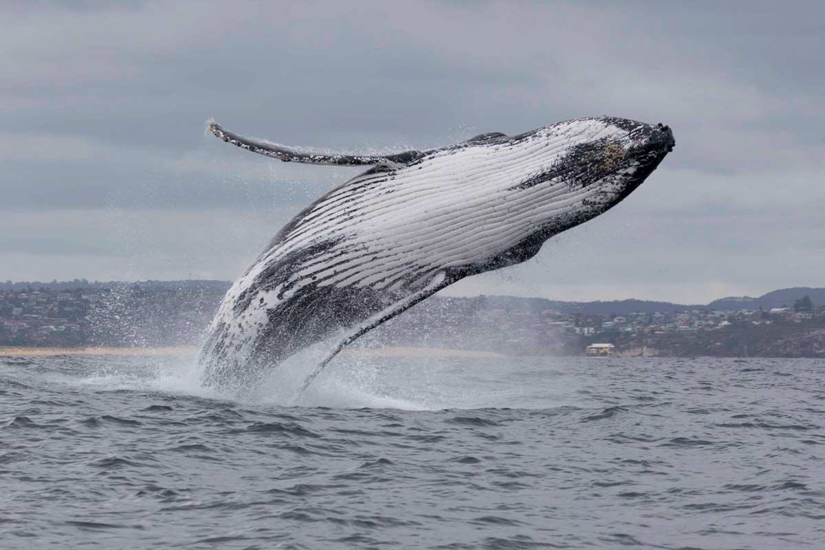 humpback whale breaching northern beaches sydney