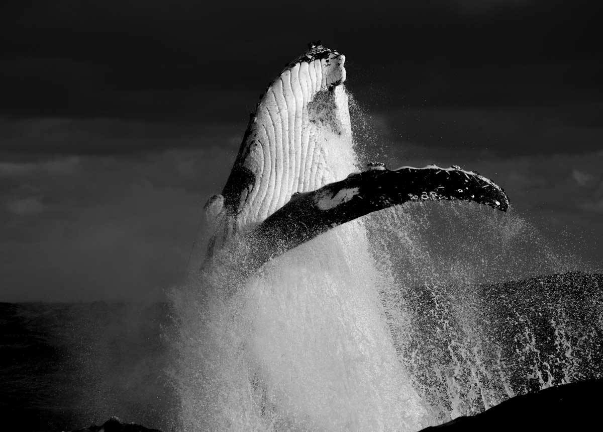 humpback whale breaching storm sydney black and white