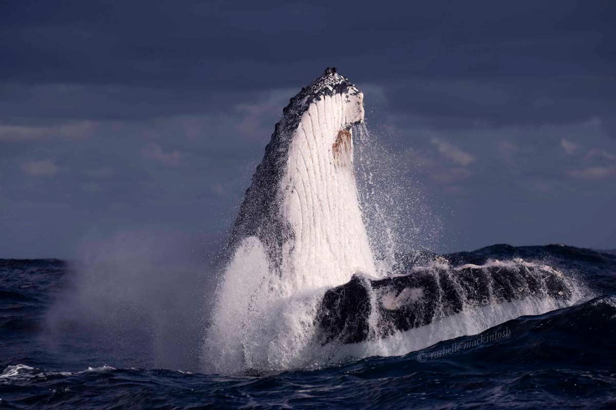 humpback whale storm maroubra nsw