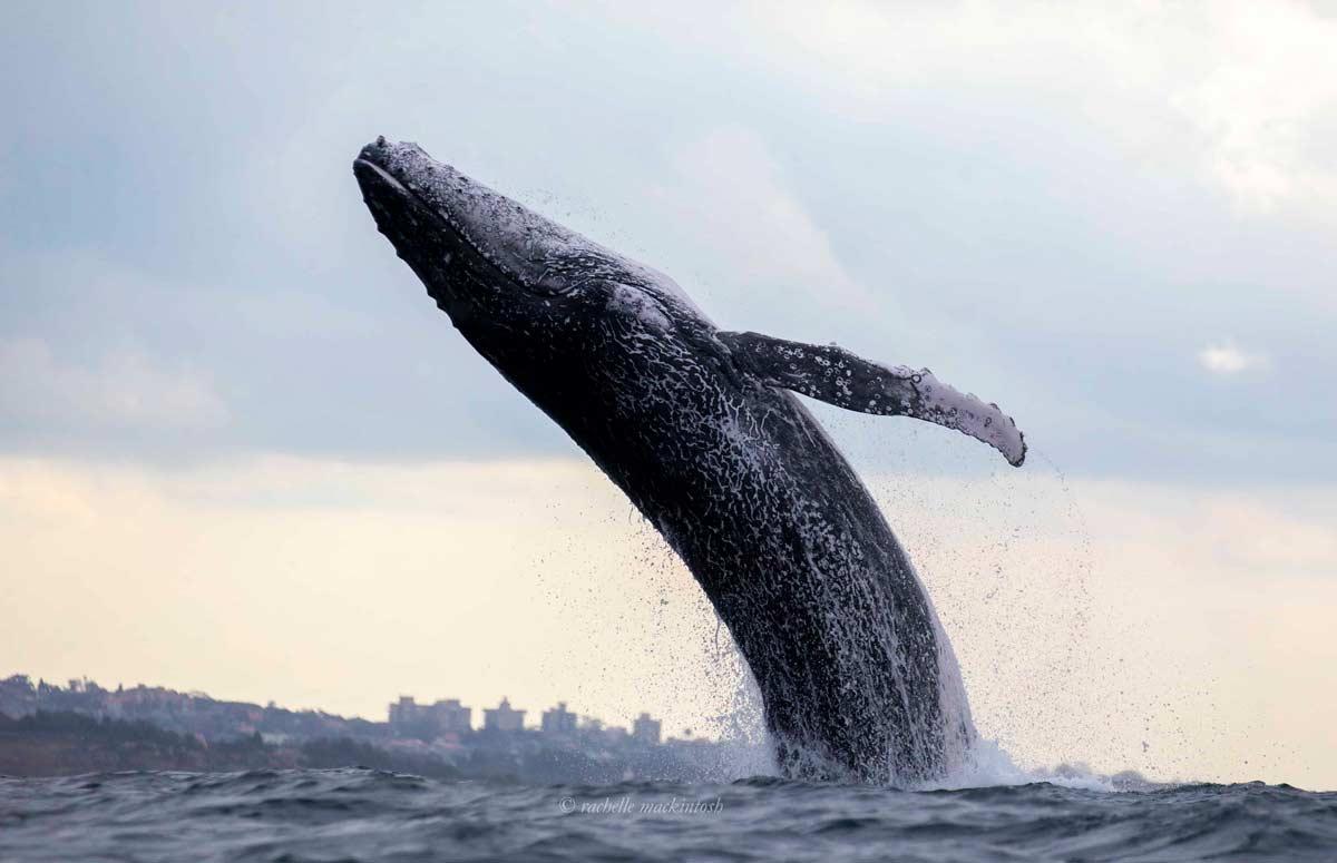 humpback whale sydney harbour