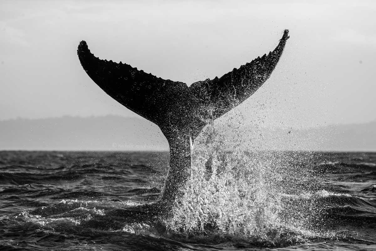 humpback whale tail merimbula bay nsw black and white