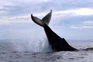humpback whale tail sydney