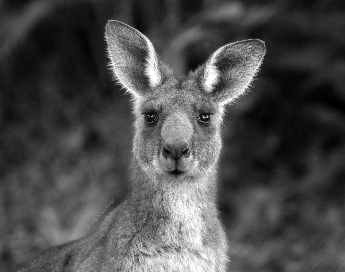 kangaroo south coast nsw australia black and white