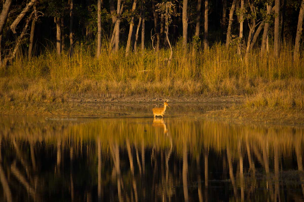kanha national park madhya pradesh india