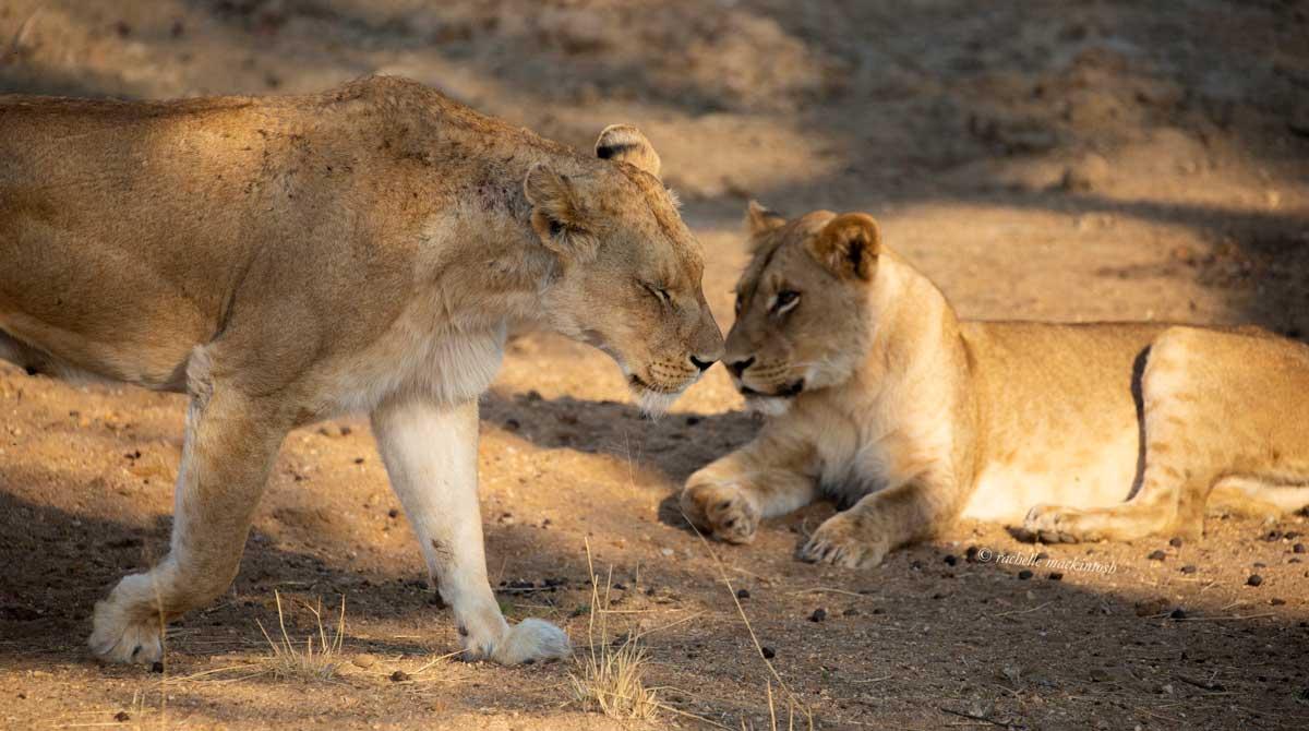 lioness walk kapama south africa