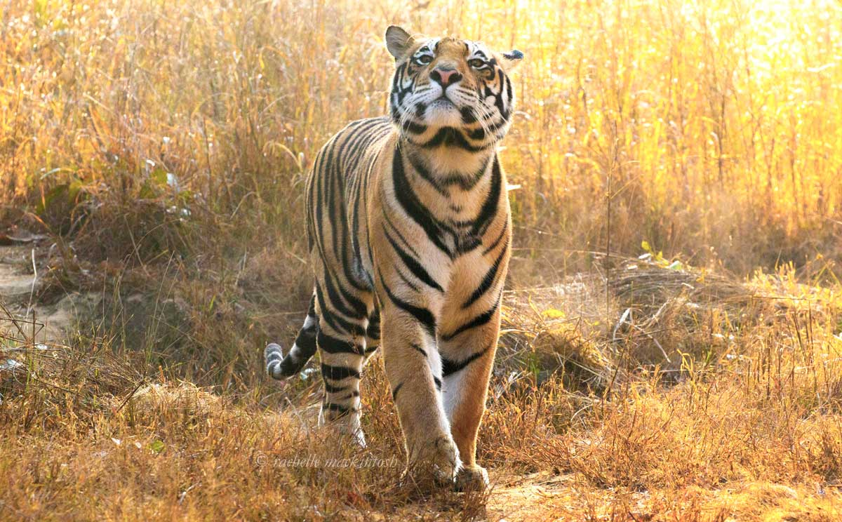 male tiger kanha national park india
