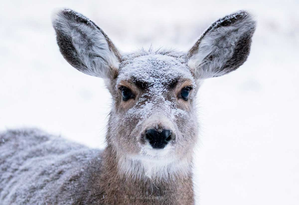mule deer yukon territory winter canada
