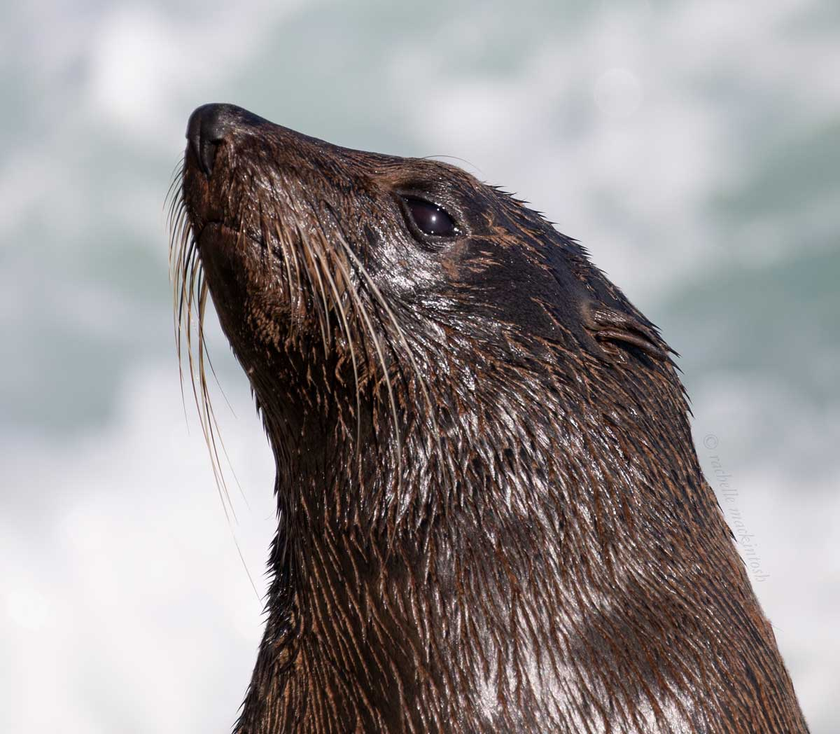 narooma seal sealion new south wales australia