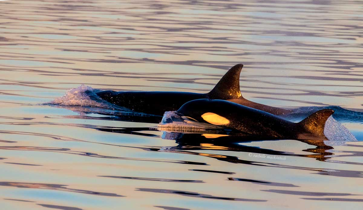 orcas killer whales victoria vancouver canada sunset