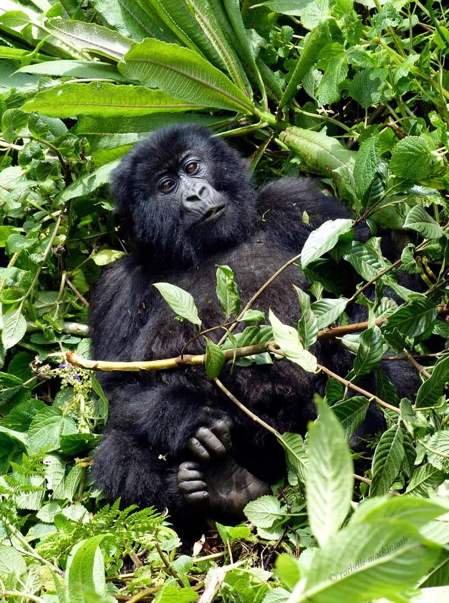 rwanda baby gorilla volcanoes national park
