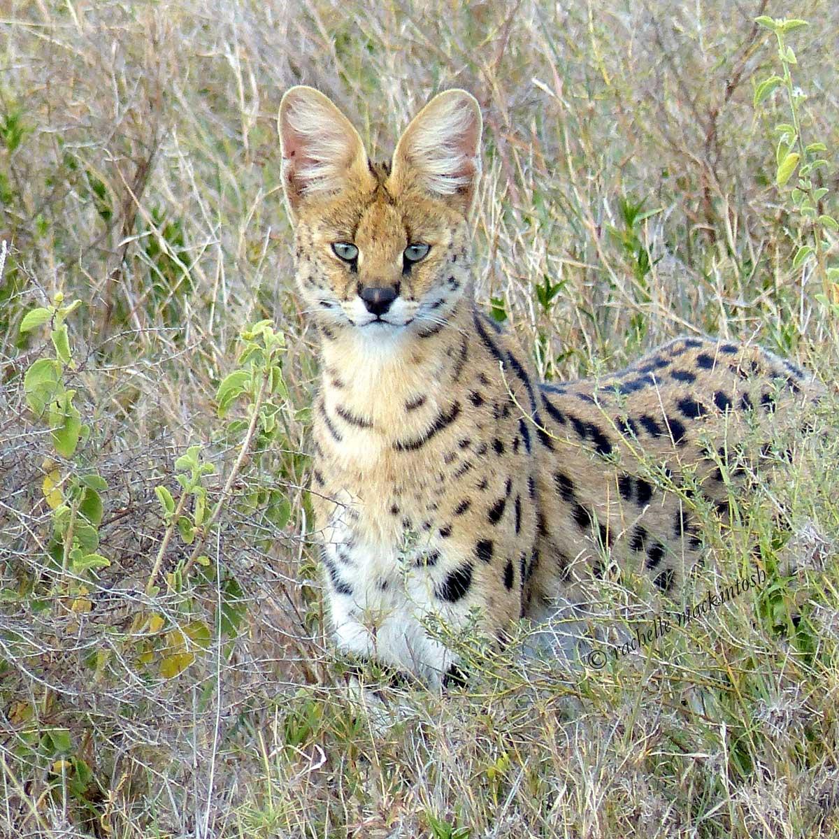 serengeti serval tanzania namiri