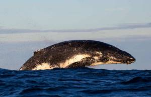 whale breaching maroubra sydney