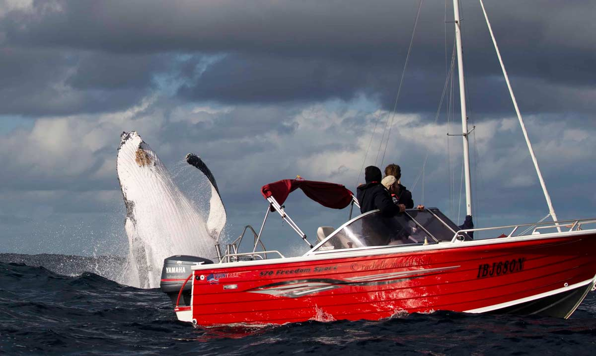 whale humpback breaching boat sydney