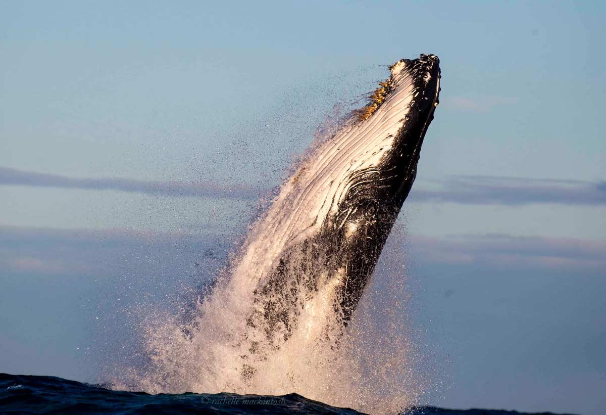 whale sunset sydney