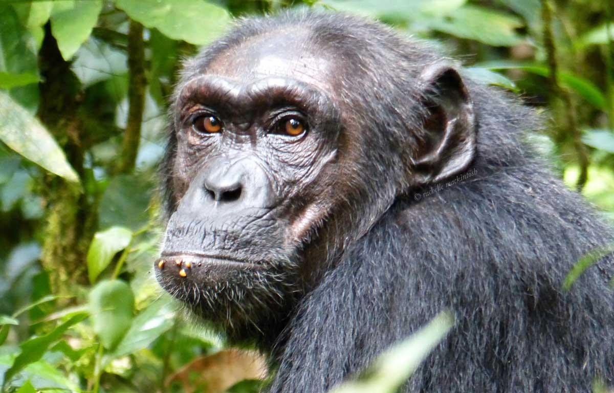 wild chimpanzee kibale forest uganda