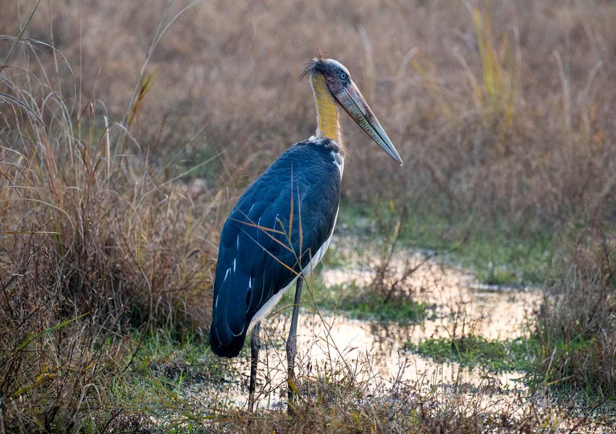 adjutant stork india