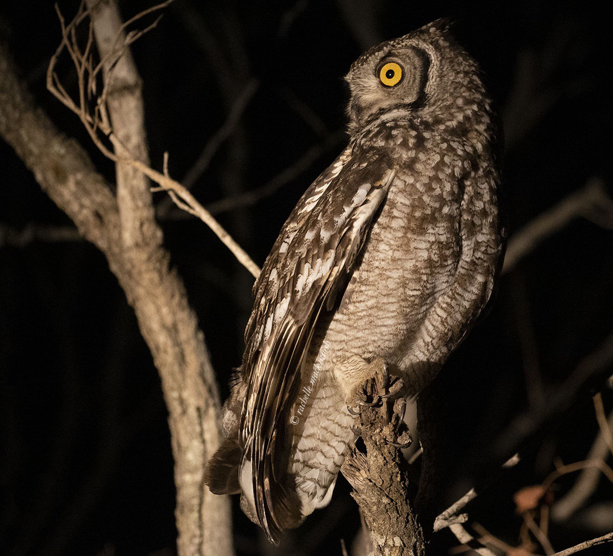 African eagle owl, Kapama, South Africa