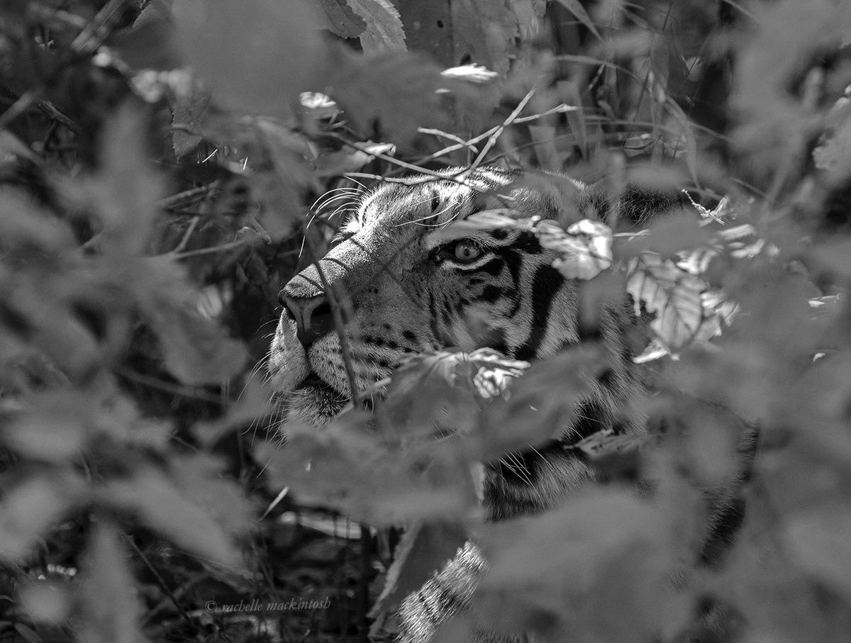 black and white tiger hiding jungle india