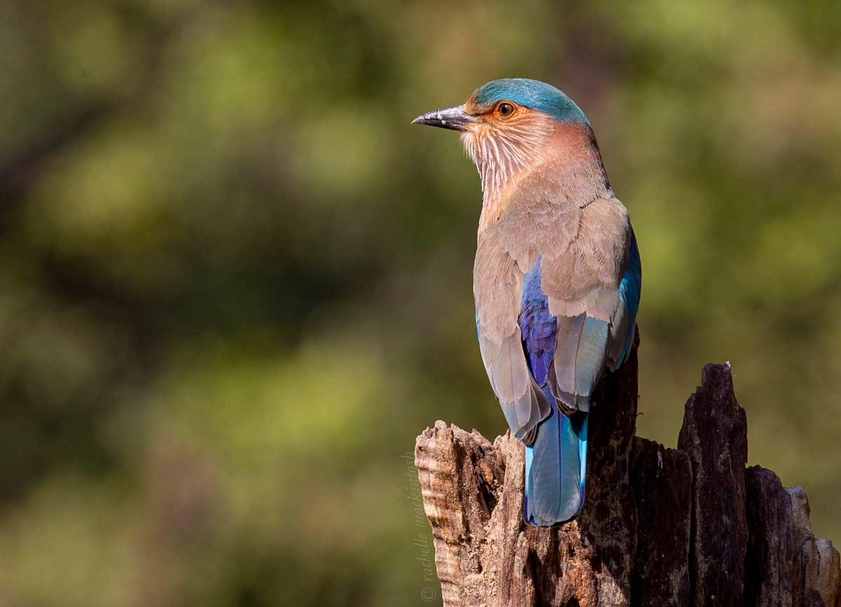 indian roller bird jungle madhya pradesh