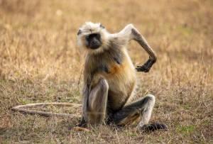 langur monkey alone bandhavgarh india