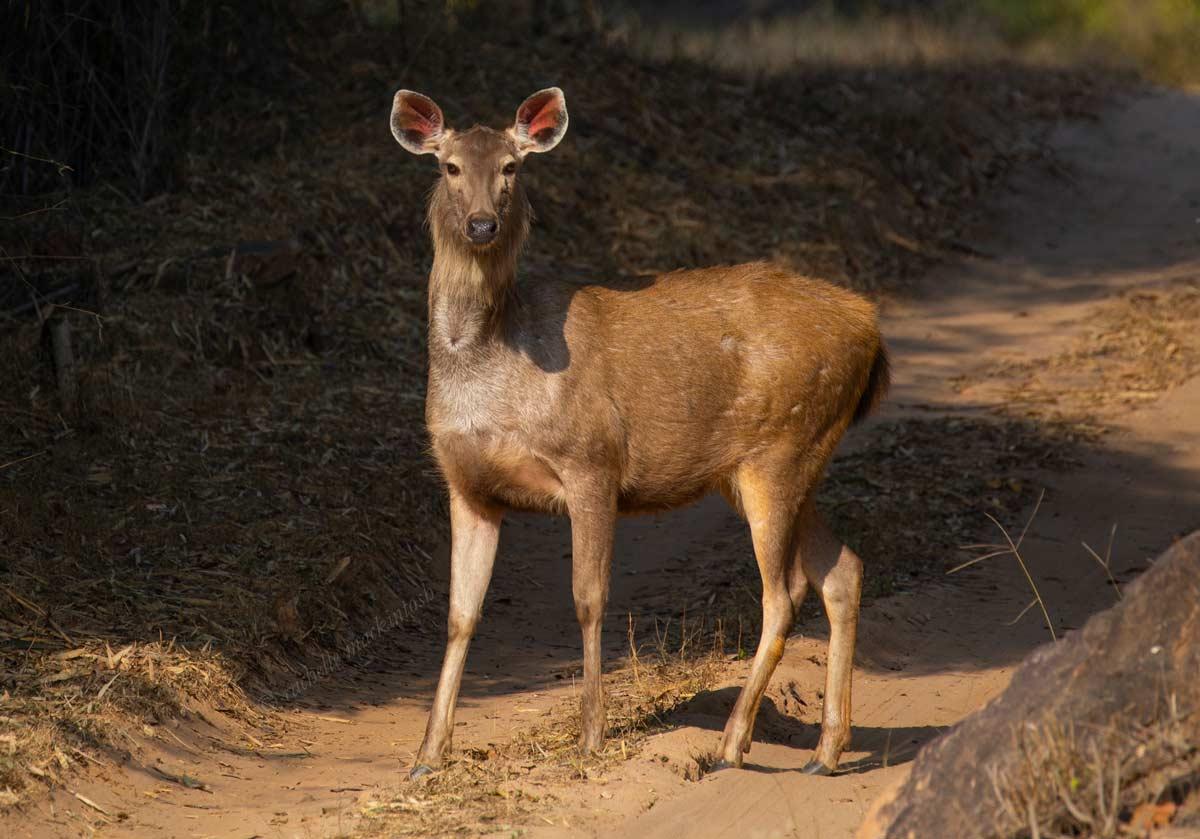 sambar deer bandhavgarh national park