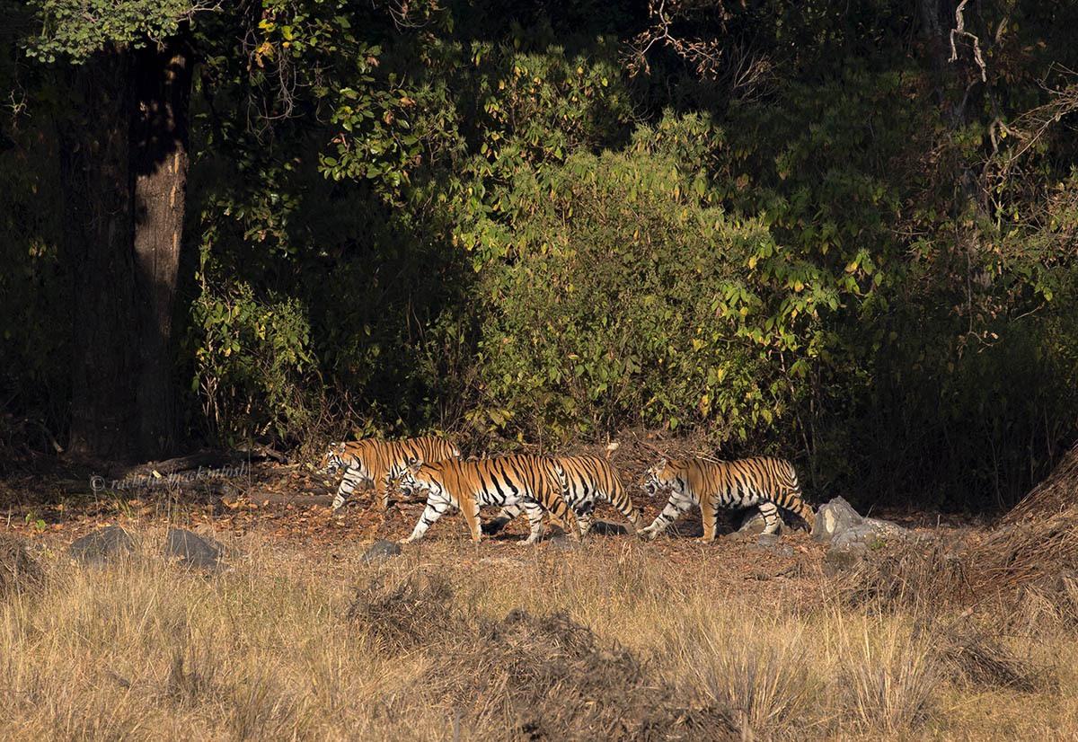 tiger family kanha national park india