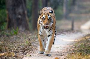umajhola tigress kanha national park india