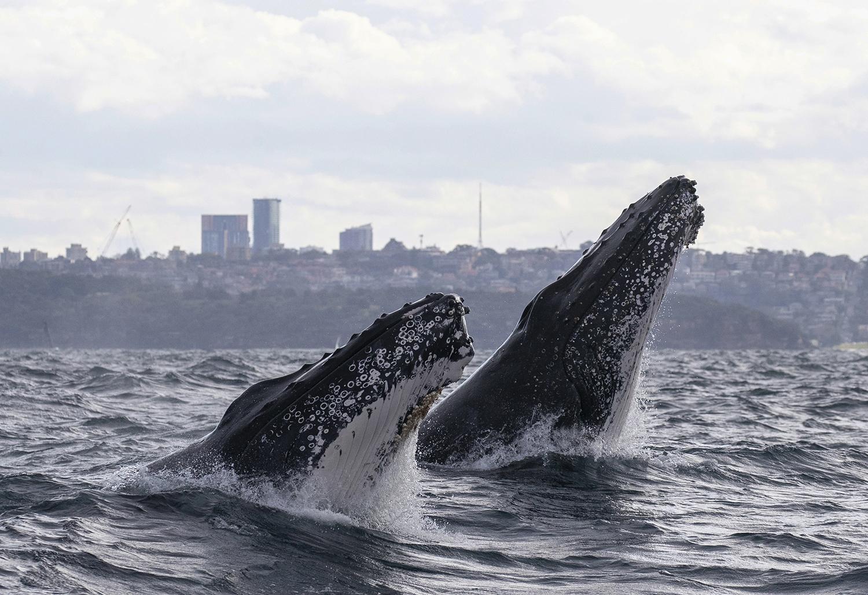 Humpback whale double head lunge, Sydney harbour