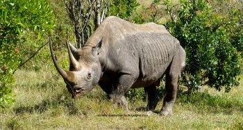 The great Karanja, two weeks before he passed away - Maasai Mara, Kenya