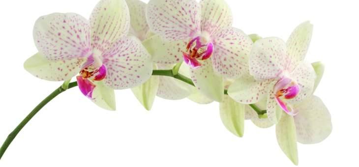 Ai în grijă un copil orhidee? Iată cum să îl ajuți să înflorească!