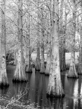 Water Trees - Post in B&W