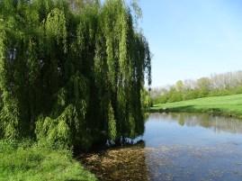 Le saul pleurer au bords de l'étang du Hameau de Favarge