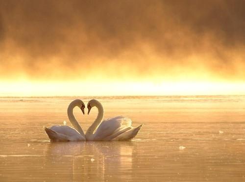Αποτέλεσμα εικόνας για love swan