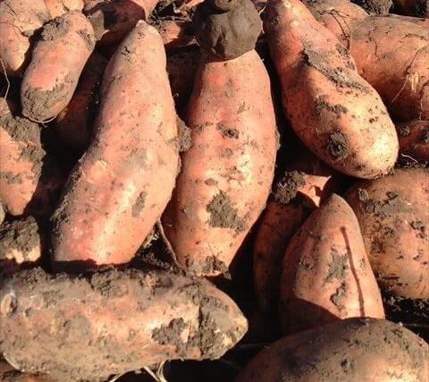 スウィートポテトの収穫に挑戦!オーストラリアのワーキングホリデー体験記