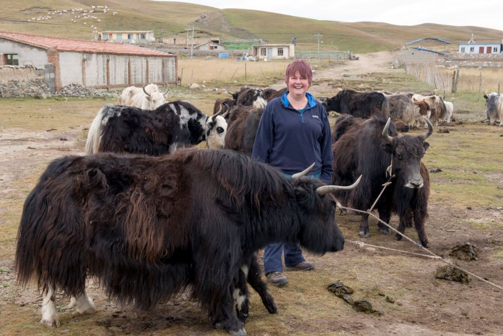 Mandy standing amongst tethered yaks, waiting for morning milking.