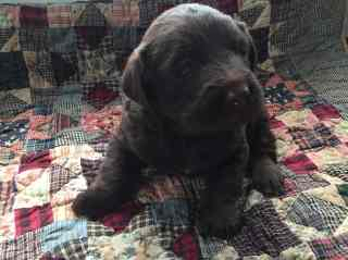 fawn-river-kennels-puppy-gallery-20