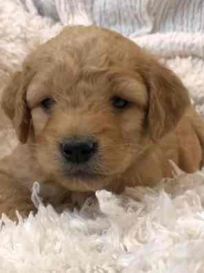 Carly & Jack's mini goldendoodle