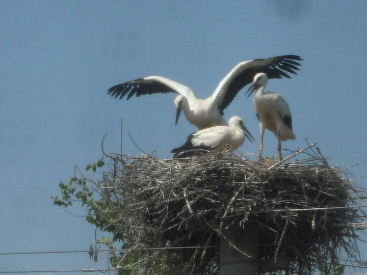 Storks nesting