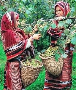 Gathering hazelnuts