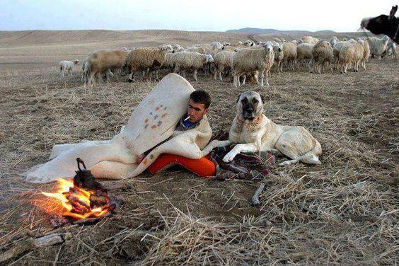 Shepherd & Kangal
