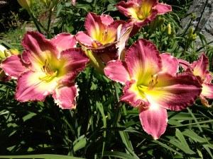 Mauve Daylilies with Yellow Throats, 2015