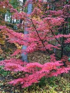 Kousa Dogwood, Fall, 2016