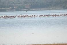 Flamingo_Fayoum_Egypt (24)