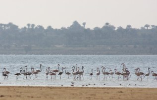 Flamingo_Fayoum_Egypt (27)